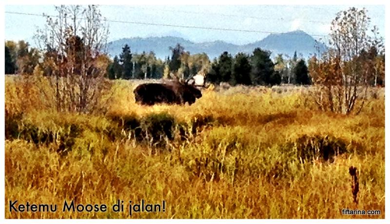 A Moose at Grand Teton National Park